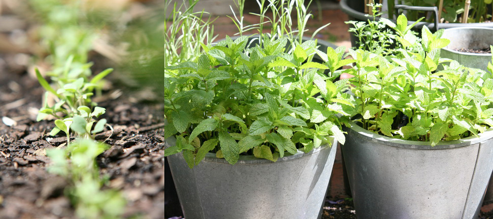 Mixed salad seedlings just sown last week; Mint by the back door.