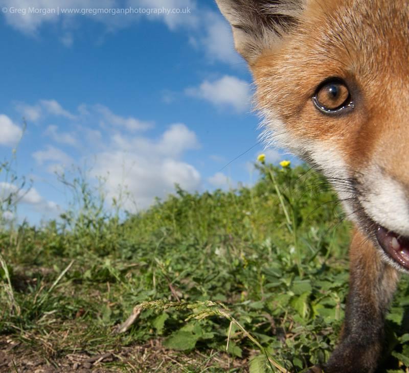 Close-up fox. Photo by GregMorgan.