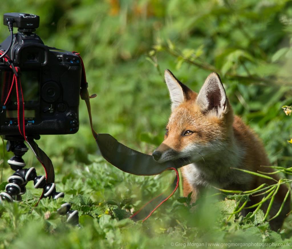 Fox and camera. Photo by Greg Morgan.