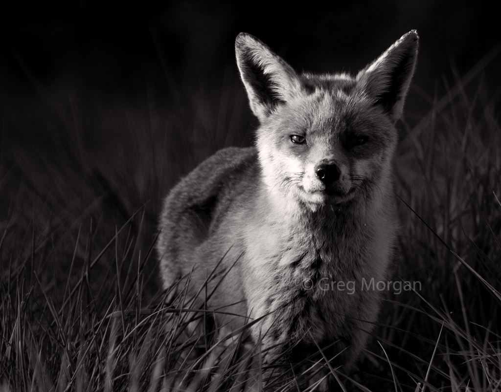 Fox at Walthamstow reservoir. Photo by Greg Morgan.