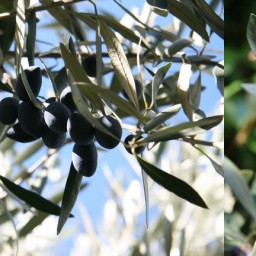 The Olive Harvest.